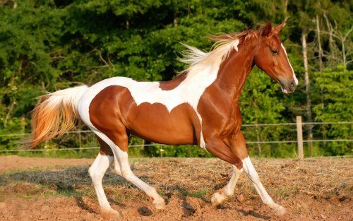 Horses Brown And White Paint