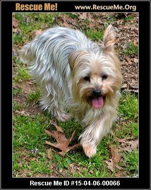 Yorkie Rescue North Carolina Yorkie Yorkie Dogs Dog Adoption