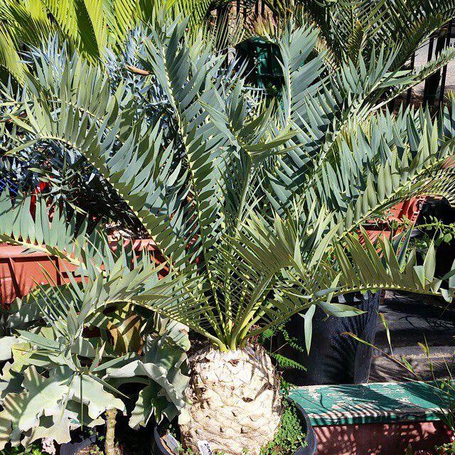 Beautiful Encephalartos Trispinosus.