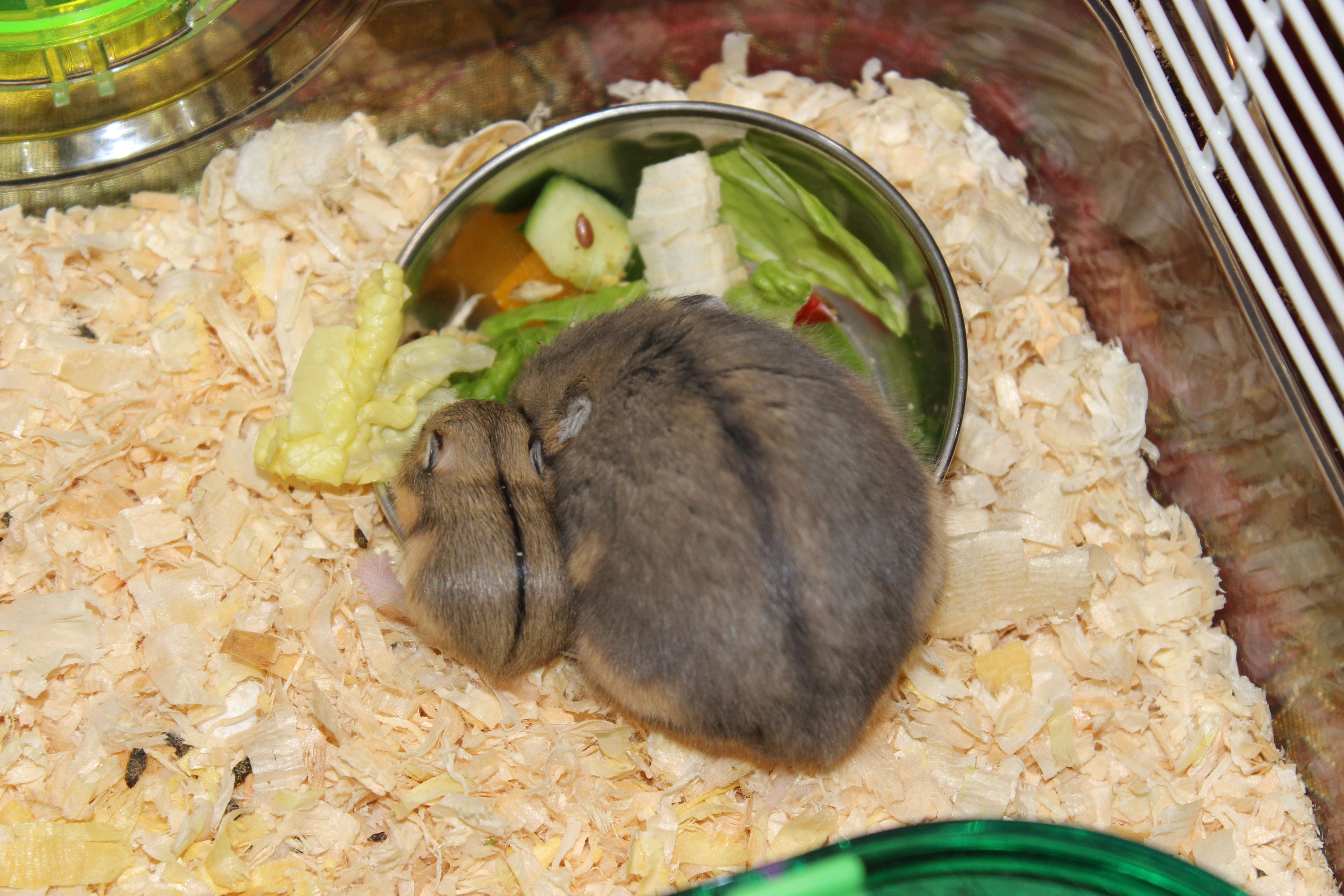 what do baby dwarf hamsters eat