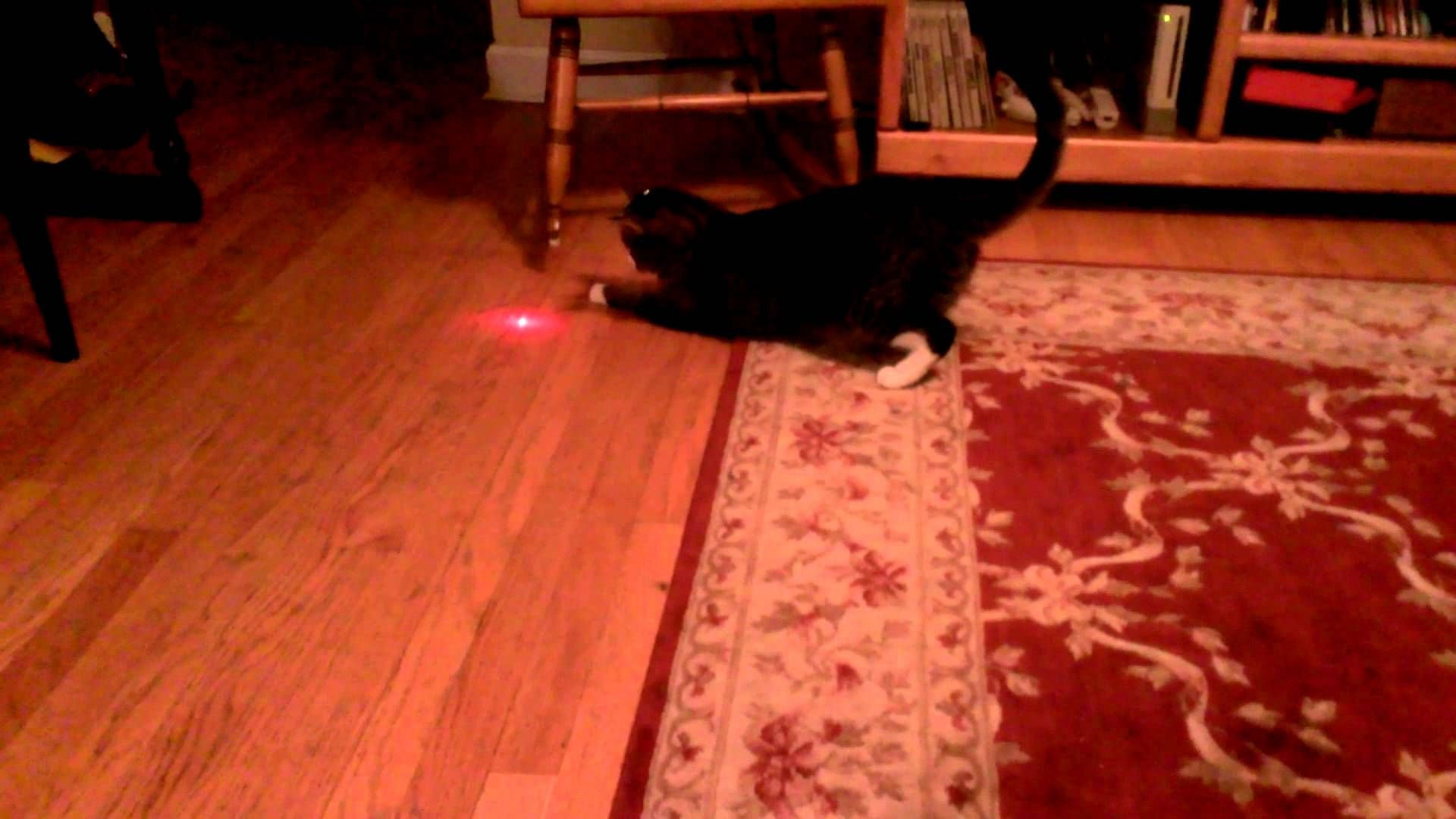 Flustered Cat With A Laser Pointer Taped To His Head Tries To Capture The Constantly Moving Dot Laser Pointer Cats Funny Animal Videos