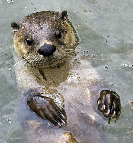 See, I Could Be a Sea Otter, Too!