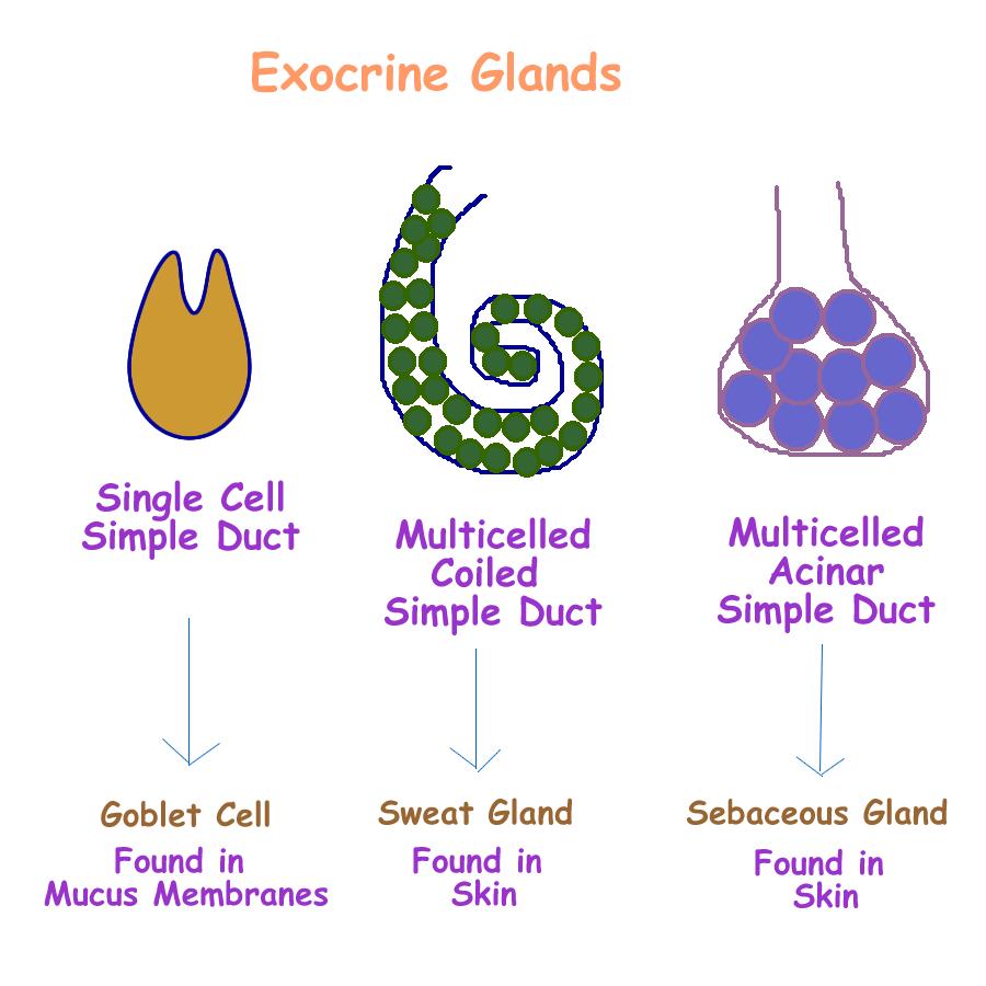 Image Result For Exocrine System Medviz Exocrine Sytem Pinterest
