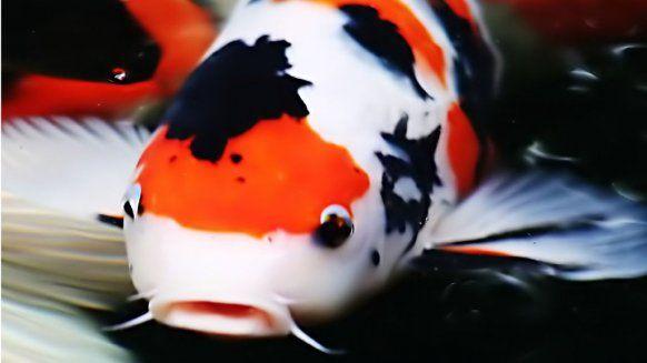 Pin By Moritz On Beautiful Koi Fish Koi Koi Fish Japanese Koi