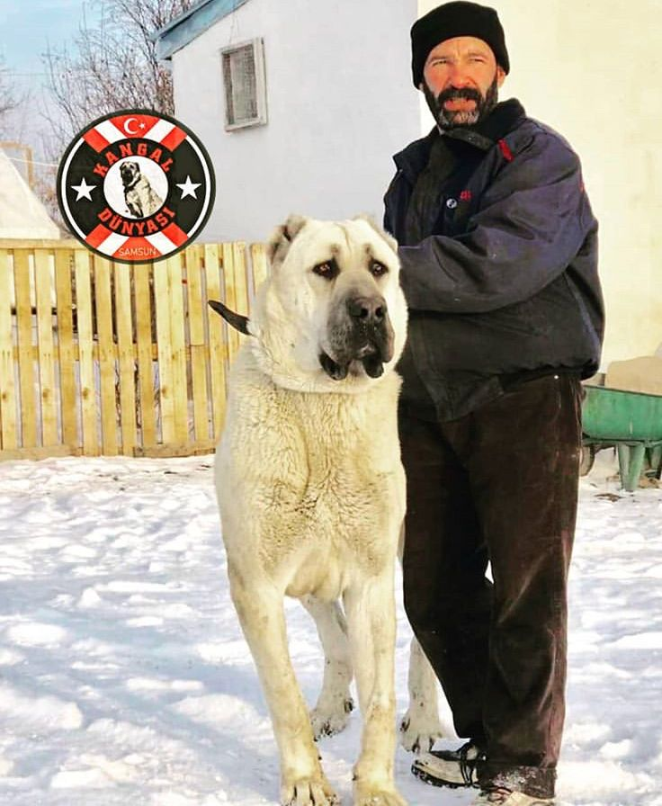 Pin by greg mcclain on canine kangal dog giant dogs