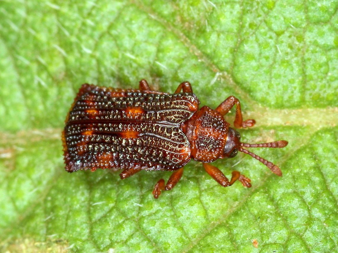 Lantana leaf mining beetle Australia,Fall,Geotagged,Lantana