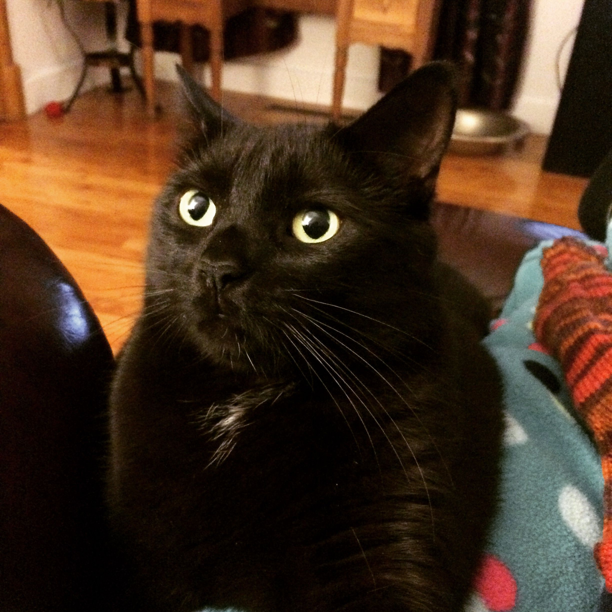 Pin By Josee Poitras On Chats Noirs Cat Love Black Cat Dog Cat