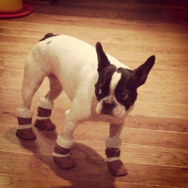 Betsey Johnson loves her new boots! #frenchie #boots #frenchbulldog #betseyjohnson #fashionista