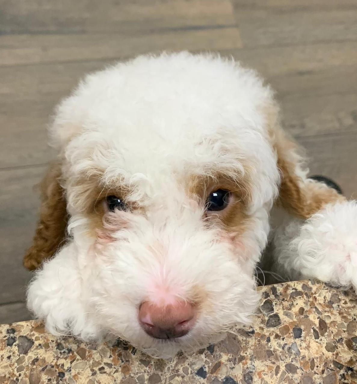 Oh Hi There Cutie Puppy Doglovers Pet Puppylove Puppies Puppyoftheday Petlandflorida In 2020 Puppies Cute Animals Dog Lovers