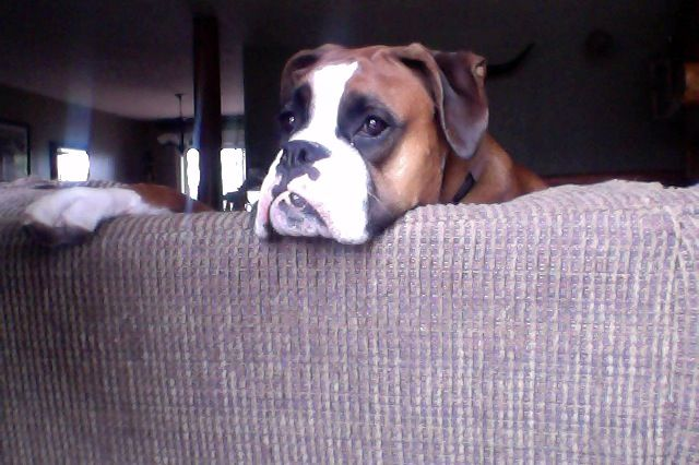 Meeko Looking Out The Window Boxer Dogs Looking Out The Window