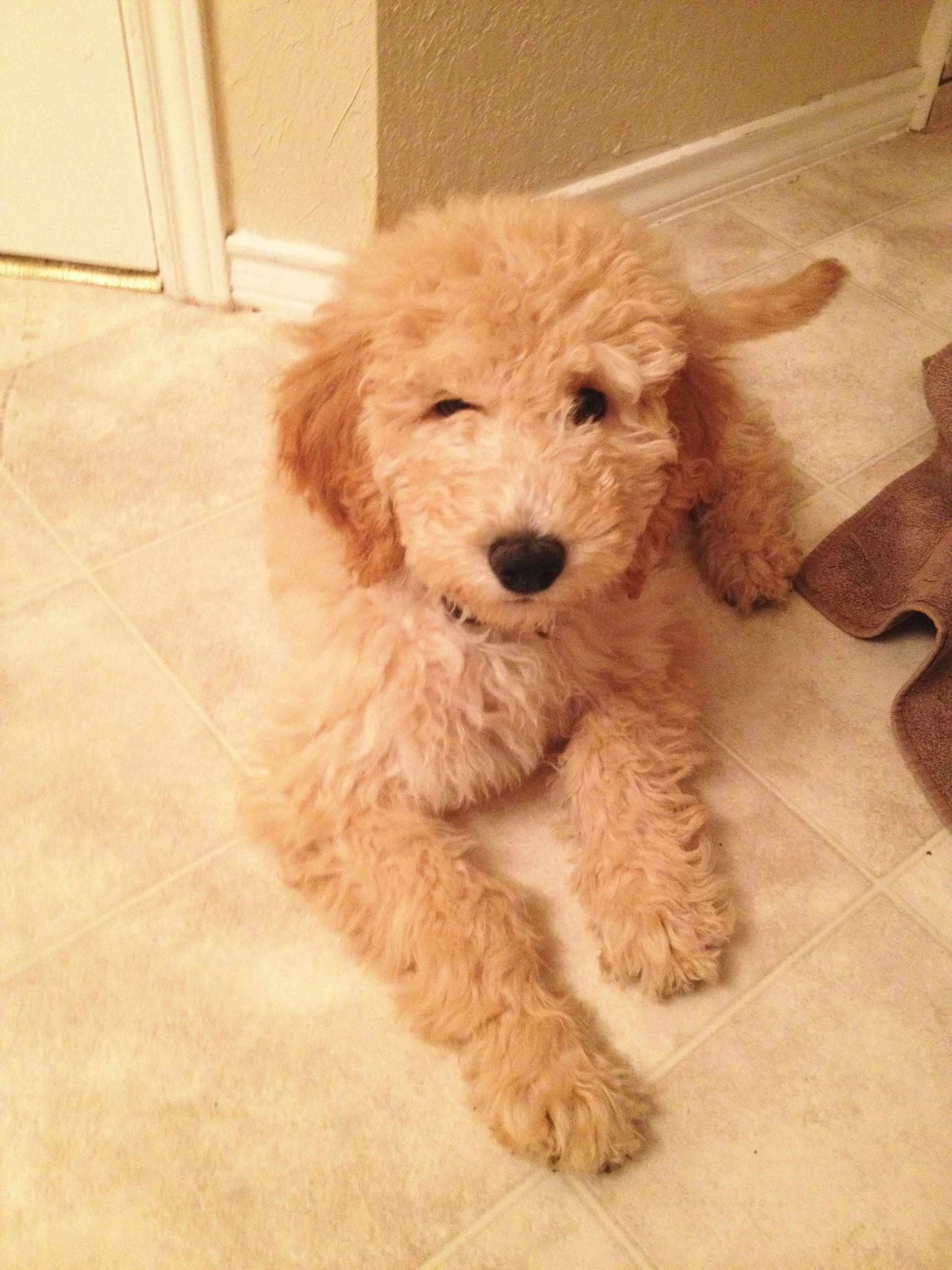 Goldendoodle 3 Months Old Pet Owners Goldendoodle Puppies