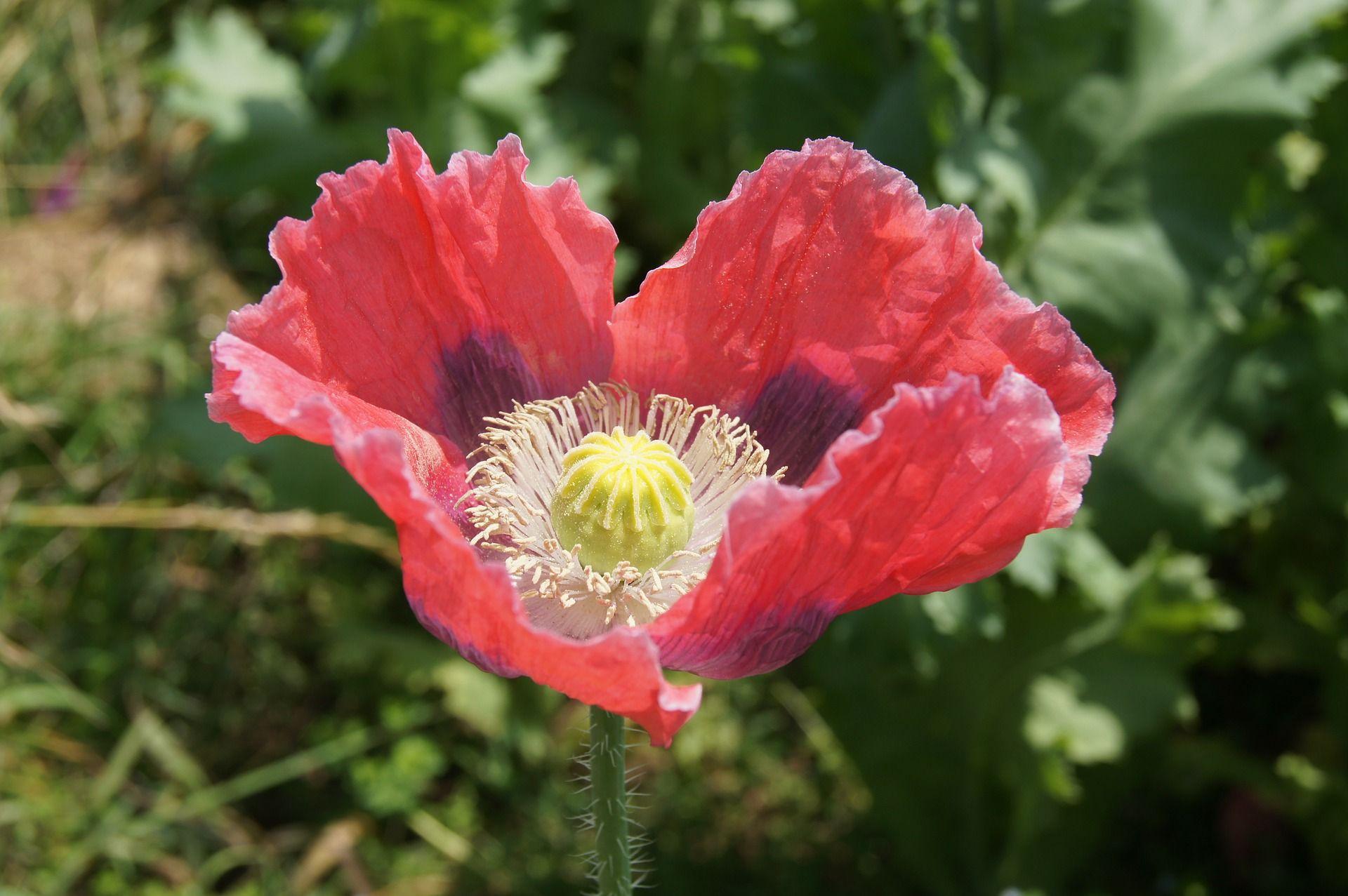 Poppy 1707711920g 19201277 Poppy Flowers Pinterest