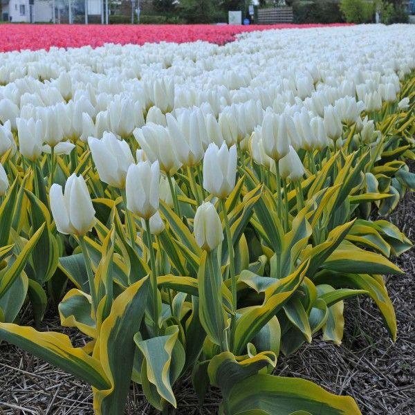 Tulpe \'Purissima Blonde\' - Pflanzzeit ist im Herbst. Online ...