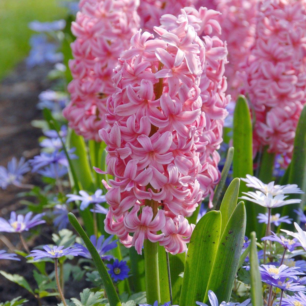 Hyacinthus orientalis Ibis rosa Hyazinthe bestens für den