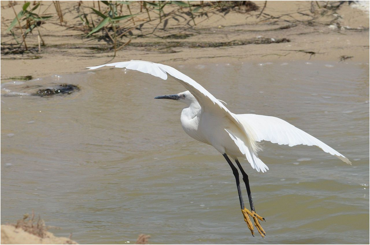 Egretta garzetta at Fayoum by Hatem Moushir 9 - Categorie: garzetta - Wikimedia Commons