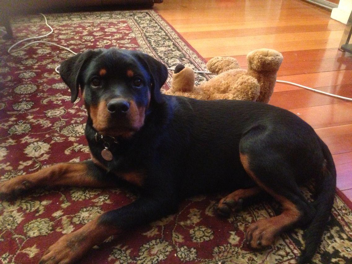 4 month rottweiler puppy Rottweiler puppies, Rottweiler