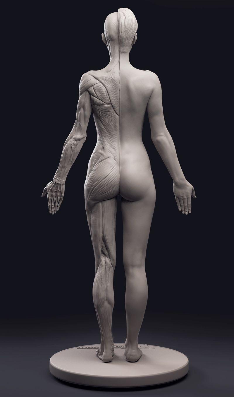 Http3dtotalanatomy Figurefemale Human Anatomy For