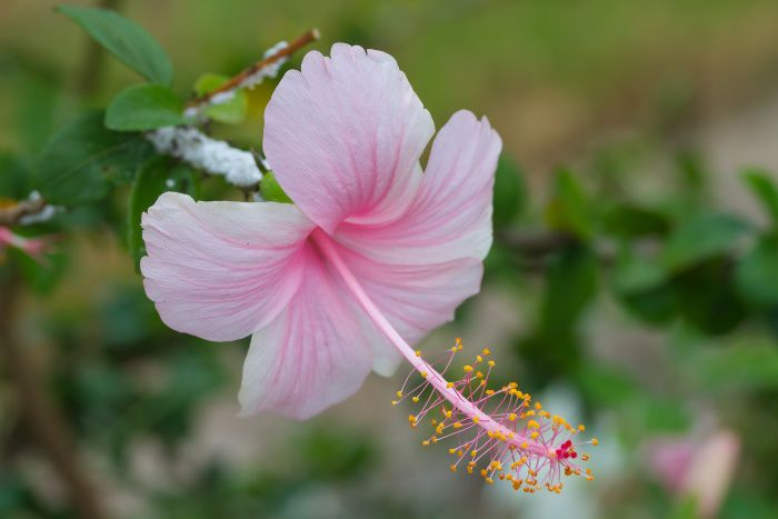 In Victorian Times Giving A Hibiscus Meant That The Giver Was Acknowledging The Receiver S Delicate Beauty De Hibiscus Flower Meaning Flower Meanings Flowers