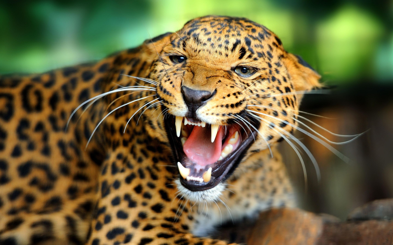 Jaguar Predator Black Animal Muzzle Art Wallpaper: Angry Jaguar 2014 Wallpaper Wide #6319 Wallpaper