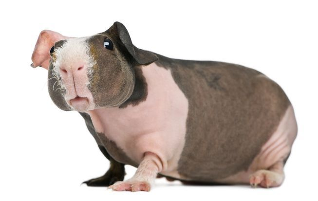 Hairless Guinea Pigs Are A New Pet Craze Skinny Pig And Animal - Ludwig the bald guinea pig is winning the internets hearts
