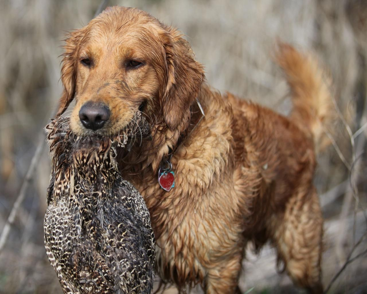 Golden Retriever Retrieving Wildfowl At The Hunt Hunting Dogs