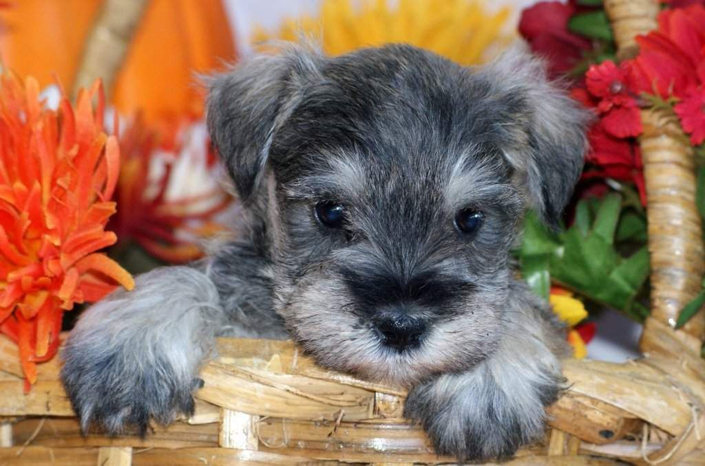 Salt Amd Pepper Miniature Schnauzer Puppies For Sale Miniature Schnauzer Puppies Schnauzer Puppy Miniature Schnauzer