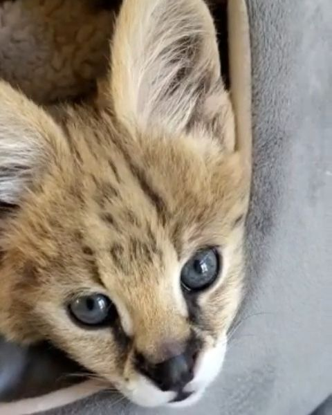 Savannah Cat Video In 2020 Cute Animals Cat Breeds Savannah Chat