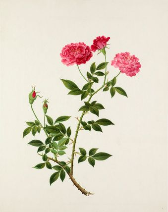 Rosa chinensis 'Old Blush' -- Illustrations -- Flowers -- RHS Prints