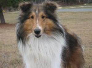 Adopt Jack Adopted On Shetland Sheepdog Shetland Sheepdog