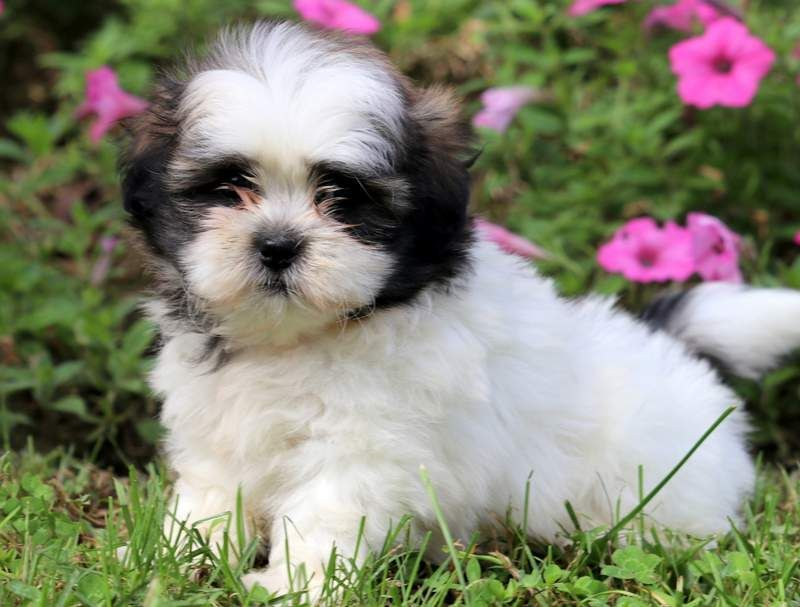 Chloe Puppies Puppies For Sale Cute Animals