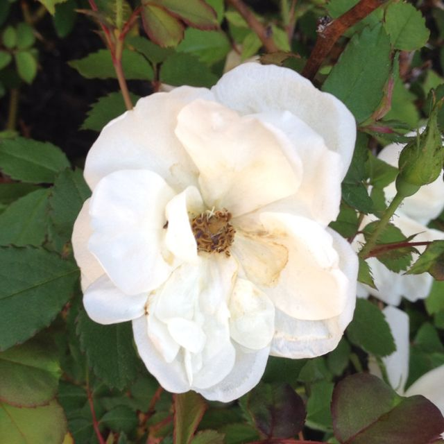 Double Knockout White Roses Home