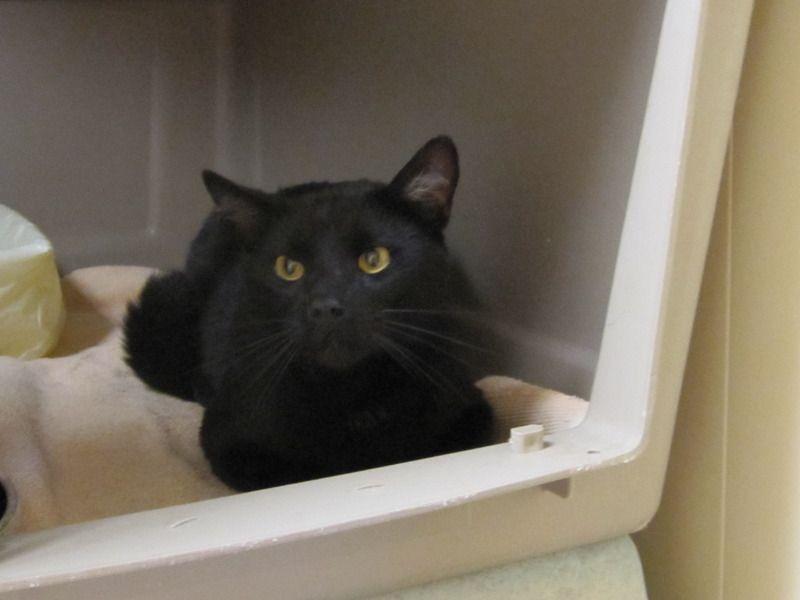 Available for adoption - Bagheera is a male cat, domestic short hair, located at Santa Paula Animal Rescue Center in Santa Paula, CA.