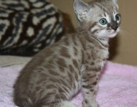 Zawieco Bengal Cats Breeder With Bengal Kittens For Sale In Florida Bengal Cats Florida Florida Bengal Kitten A Bengal Kitten Bengal Kittens For Sale Kittens