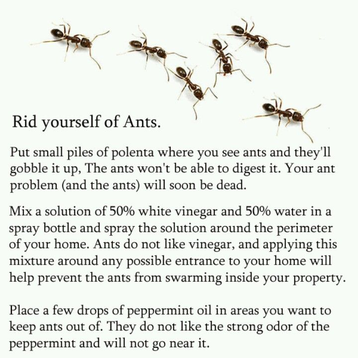 How To Get Rid Of Ants In Kitchen Cabinets: Getting Rid Of Ants