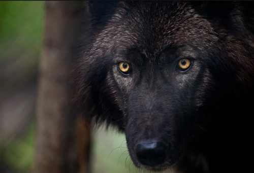 I will have a HC black phase wolfdog one day. First, let's start with a low/mid.
