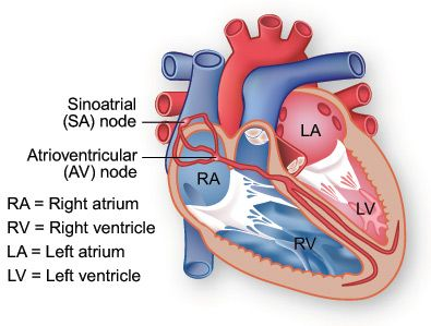 A diagram of the conduction system of the heart. Electrical ...