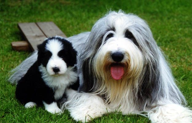 Bearded Collie Bearded Collie Information And Wallpapers New