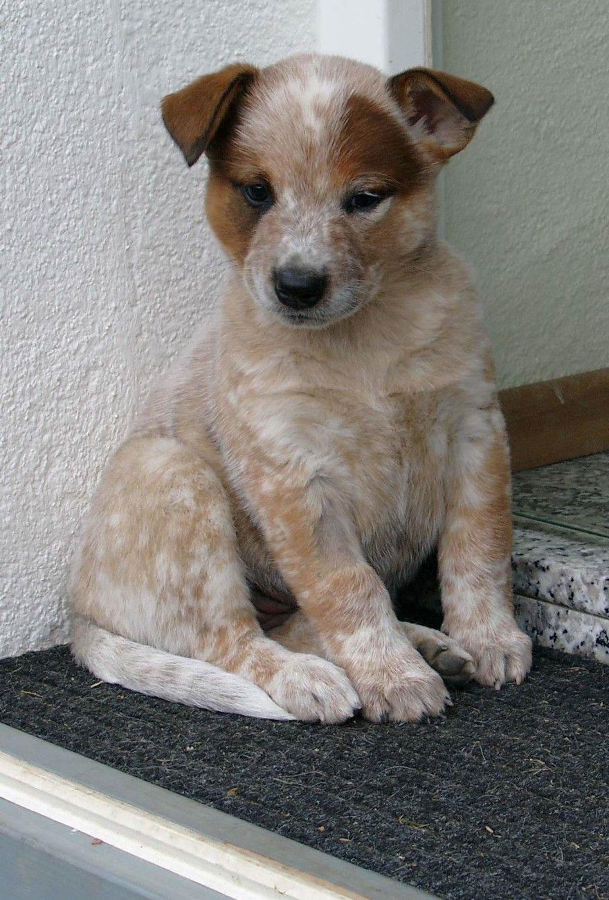 20 Dogs With The Most Unique Coat Patterns Austrailian Cattle Dog Cattle Dog Puppy Heeler Puppies