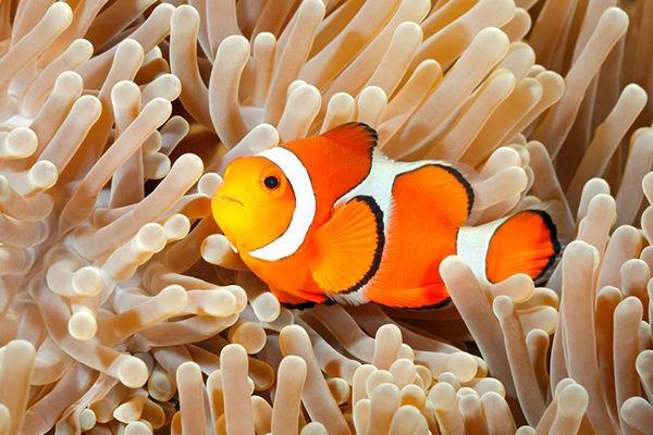 39 Clownfish Ideas Clown Fish Fish Tropical Fish
