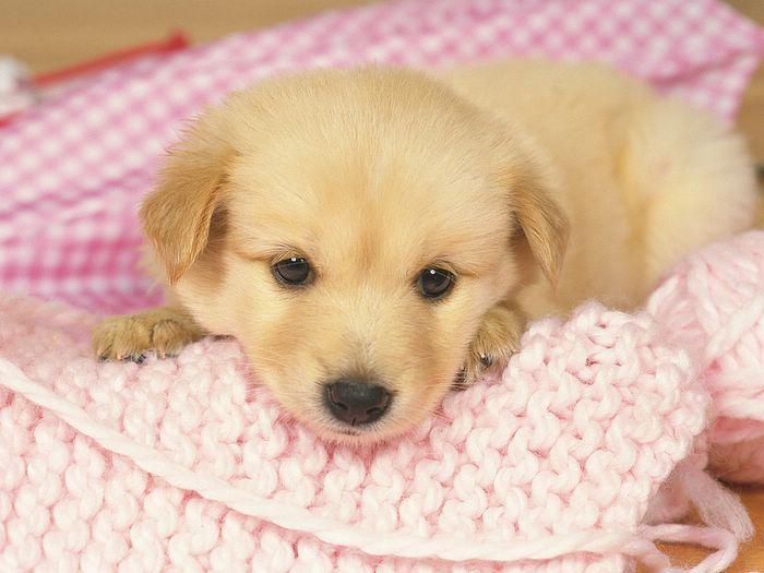 1600 1200 Loveable Golden Retriever Puppy Cute Golden Retriever Puppies Photos 22 Cute Puppy Wallpaper Pets Cute Puppies