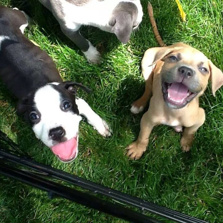 A Couple Smiling Pitbull Puppies From The Shelter I Volunteer At
