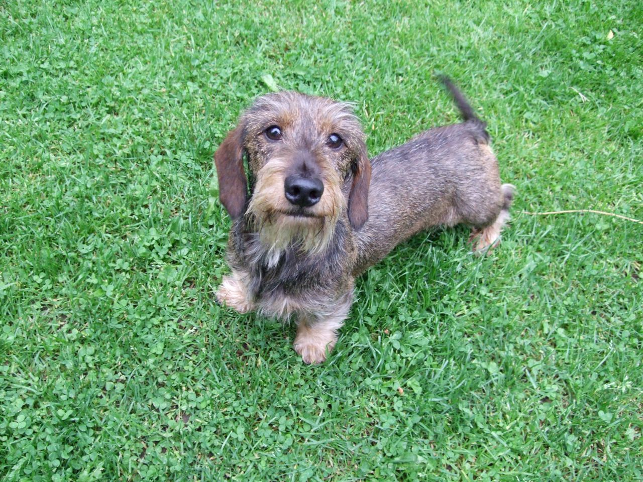 Mini Wire Haired Dachshund Dog Wire Haired Dachshund Dachshund