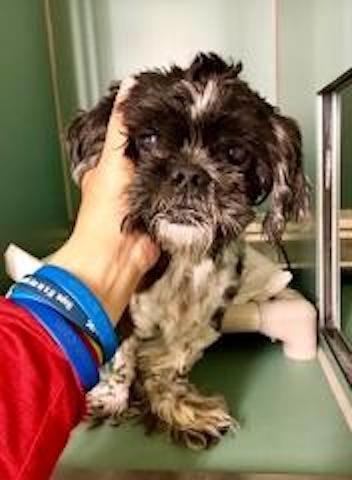 Hansel A1126370 Super Urgent Manhattan Male Gray White Shih Tzu Mi Dogs Puppies Pets