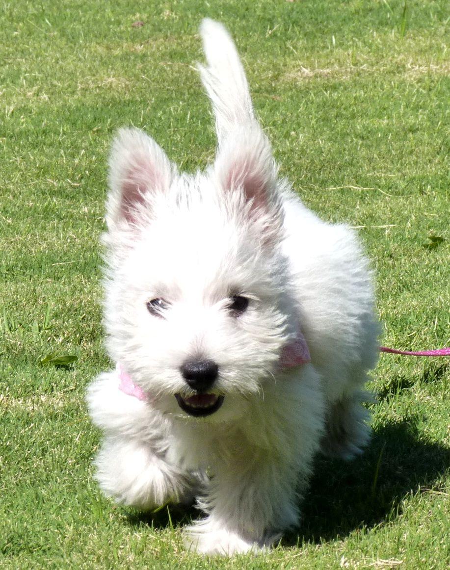 Mona Westie Puppies Westies Dogs Puppies