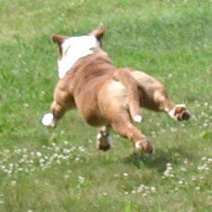 Bull Pull Kennels Sbk Rocco Bulldog Cartel American Bulldog