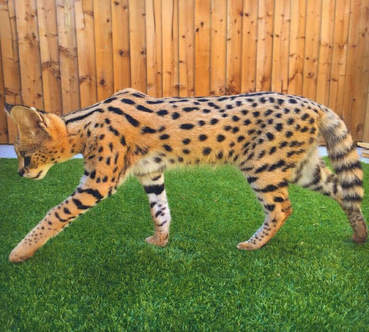 F1 Savannah Cats For Sale Savannah Cat For Sale Kittens Cutest Savannah Cat