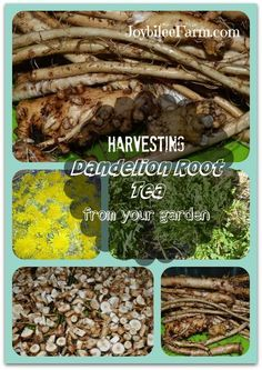 Harvesting dandelion root tea from your garden - Joybilee Farm