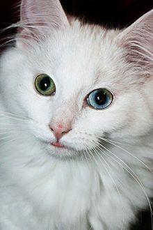 Odd Eyed Cat Wikipedia The Free Encyclopedia Weird Animals
