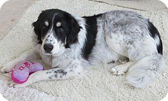 Great Pyrenees/Border Collie Mix Dog for adoption in Arvada, Colorado - Sebastian
