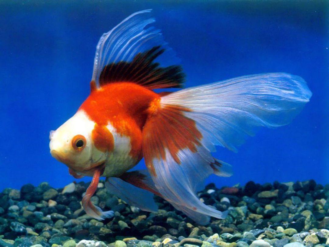 Photo of ✅[90+] Goldfisch – Android, iPhone, Desktop-Hintergründe (1080p, 4k) (1080×810) (2020)